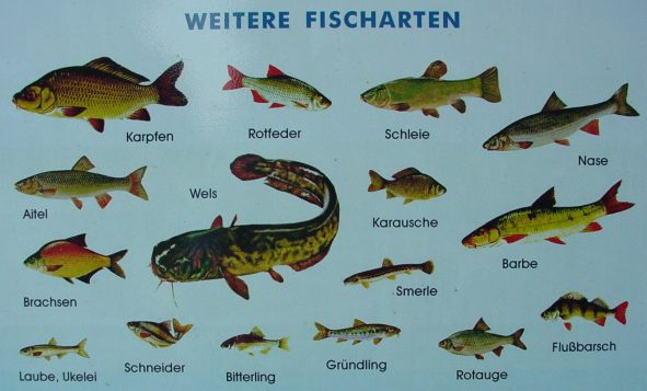Fischarten images reverse search for Fische arten
