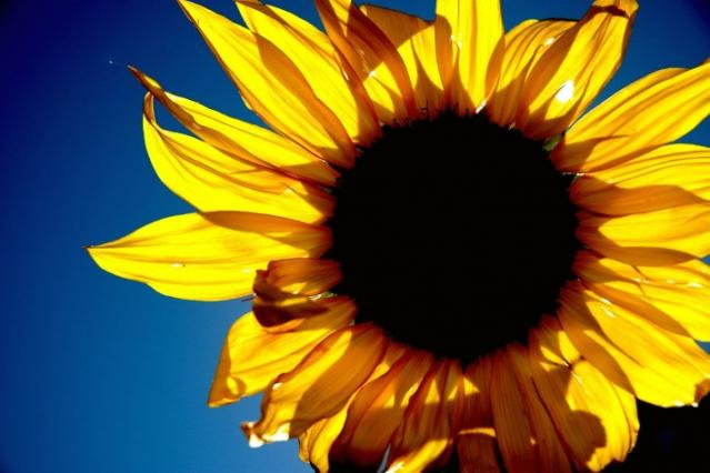 sunflower_sunrise_in_glendale.jpg