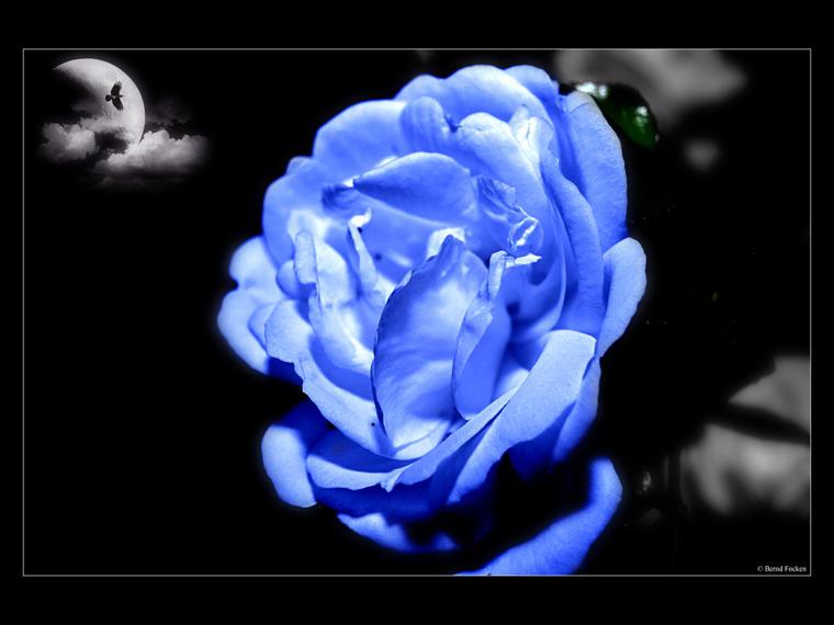 Blaue-Rose-a22580218.jpg