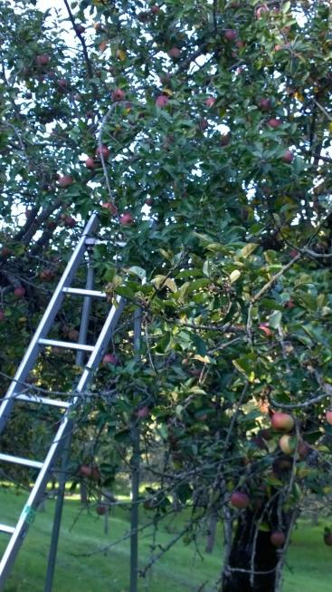 Apfel-Ernte_2016.jpg