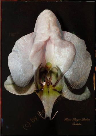 Orchideen_scan_Versuch_1klein.jpg