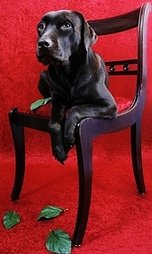 stockvault-labrador-dog-on-chair131601kleingross.jpg
