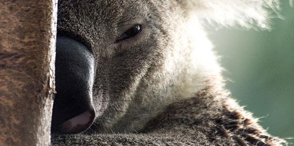 northern-koala-frankie.jpg
